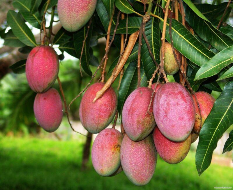 Манго на дереве